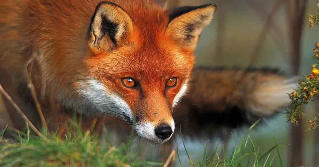volpe-animale-di-potere