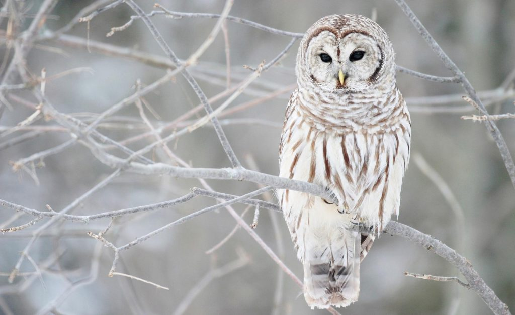 white-owl-in-winter